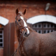 Portrait of a red horse. — Stock Photo #45534849