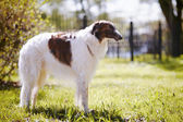 The borzoi costs on a grass. — Stock Photo