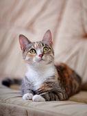 Разноцветные кошки с жёлтые глаза лежит на диване. — Стоковое фото