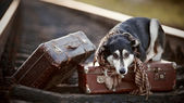The dog lies on suitcases on rails — Stock Photo