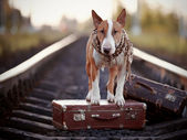 English bull terrier on rails with suitcases. — Stock Photo
