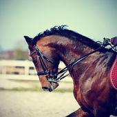Portrait d'un cheval de sport brun. — Photo