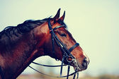 Portrait of a sports brown horse. — Stock Photo