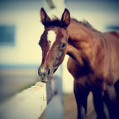 Foal with an asterisk on a forehead. — Stock Photo