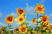 A large field of yellow sunflowers — Stock Photo