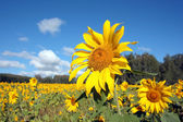 Field of ripe yellow sunflowers — Stock Photo