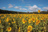 A field of yellow sunflowers — Stock Photo