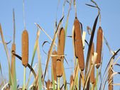 Typha latifolia - Cattail and clear blue sky — Stock Photo