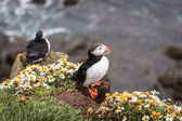 Puffin in iceland — Stock Photo