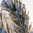 Pine tree with fresh snow — Stock Photo