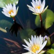 Stock Photo: Three white lotuses and group of leaf in water