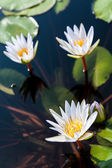 Three white lotuses and group of leaf in water — Stock Photo