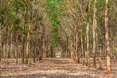 Area of rubber plantation in autumn,thailand — Stock Photo