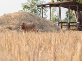 Brown cow eating dry grass on the farm in rural ,thailan — Stock Photo