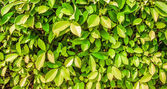 Close up green leaves wall background — Stock Photo
