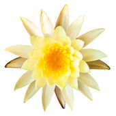 Yellow lotus isolated on a white background — Stock Photo