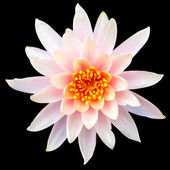 Pink lotus isolated on a black background — Stock Photo