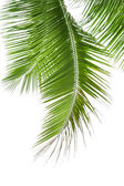Leaves of palm tree isolated on white background — Stock Photo