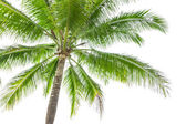 Under coconut tree on the white background — Stock Photo