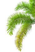 孤立在白色背景上的棕榈树的叶子. — 图库照片