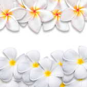 Flor de frangipani aislado sobre fondo blanco — Foto de Stock