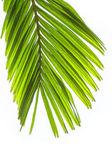 Liści palmy na białym tle. — Zdjęcie stockowe