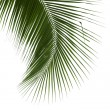 Leaves of coconut tree isolated on white background — Stock Photo #45809053