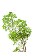 Green leaves isolated on white background, clipping path include — Stock Photo