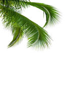 Leaves of coconut tree isolated on white background — Stock Photo