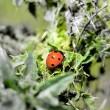 Ladybird — Stock Photo #30506397