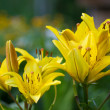 Stock Photo: Yellow lilly