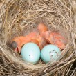 Baby birds — Stock Photo
