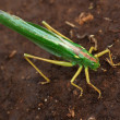 Green locust — Stock Photo
