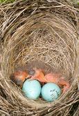 Baby birds — Stock Photo
