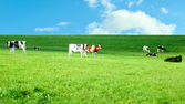 Holstein cows in a lush pasture — Stock Photo