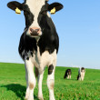 Inquisitive Holstein Frisian cow — Stock Photo