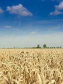 Golden wheat field — Stock Photo