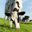 Stock Photo: Grazing holstein cow