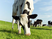 Grazing holstein cow — Stock Photo