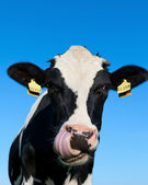 Curious Holstein cow — Stockfoto