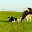 Holstein cows grazing — Stock Photo