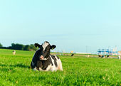 Holstein dairy cow lying on grass — Stock Photo