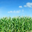 Maize field panorama against blue sky — Stock Photo #12730974