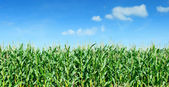 Maize field panorama against blue sky — Stock Photo