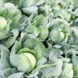 Field of cabbage plants — Stockfoto
