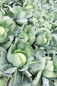 Field of cabbage plants — Stock Photo