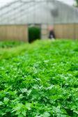 Field of fresh parsley — Stock Photo