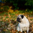 Pug dog sitting amongst autumn leaves — Stock Photo