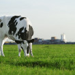 Black and white Holstein cow grazing — Stock Photo #18255529