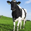 Black and white Holstein friesian cow — Stock Photo